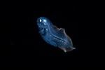 Cusk eel, deep water larval fish, Ophidiidae