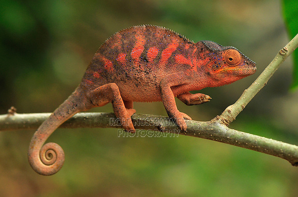 Panther Chameleon (Furcifer pardalis), female, Lokobe Nature Special Reserve, Nosy Be, Northern Madagascar