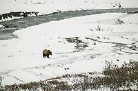 Grizzly bear walks across the snow in Atigun Canyon, Brooks Range, Alaska