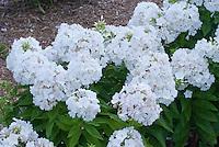 Phlox paniculata 'White Flame' (3), dwarf growing garden phlox aka Bartwentynine