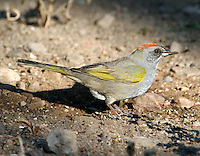Adult green-tailed towhee eating seed