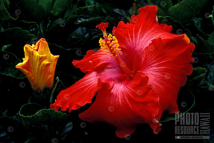 A close-up of a giant red hibiscus blossom next to a unopened yellow flower set against a lush background of green leaves