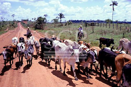 Amazon, Brazil. Zebu cattle on a cattle ranch with cowboys on horseback.