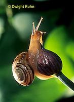 1Y08-143z  Snail, east coast land snail, Sephia hortensis