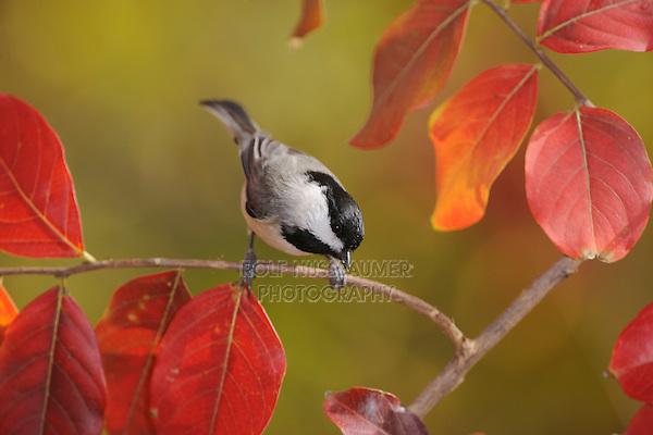 Carolina Chickadee, (Poecile carolinensis), adult on Crape Myrtle (lagerstroemia), New Braunfels, San Antonio, Hill Country, Central Texas, USA