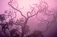 Native ohia tree in the mists of the alakai swamp on the island of Kauai