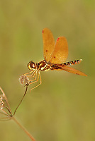 304560003v a wild eastern amberwing dragonfly perithemis tenera perches on a dead flower stalk at hornsby bend travis county texas