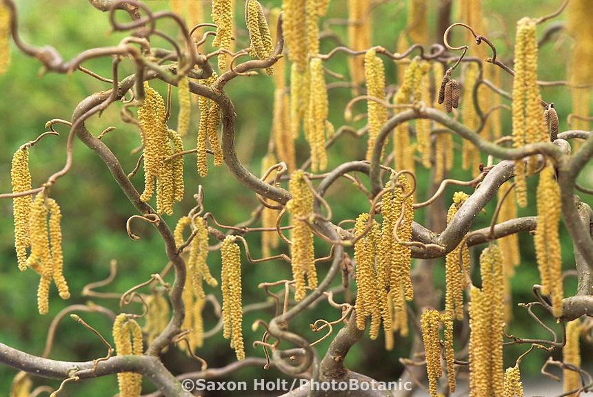 Corylus avellana 'Contorta'- Harry Lauder's Walkng Stick