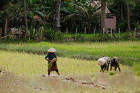 Rices fields near ,Siem Reap <br /> , Cambodia during rainy season<br /> <br /> PHOTO :  Agence Quebec Presse<br /> <br /> <br /> <br /> <br /> <br /> PHOTO : Agence Quebec Presse