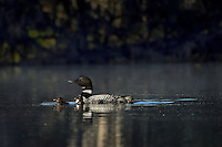 Common Loons--adult with young chicks (Gavia immer).  Northern North America, Summer.  Sometimes also called Great Northern Loon or Diver.