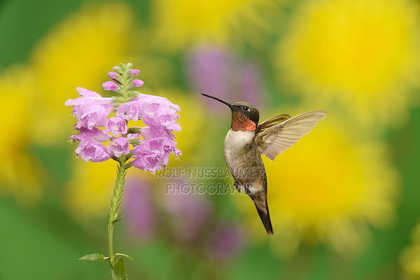 Ruby-throated Hummingbird (Archilochus colubris), adult male in flight feeding on Obedient Plant (Physostegia virginiana) flower, New Braunfels, Central Texas, USA