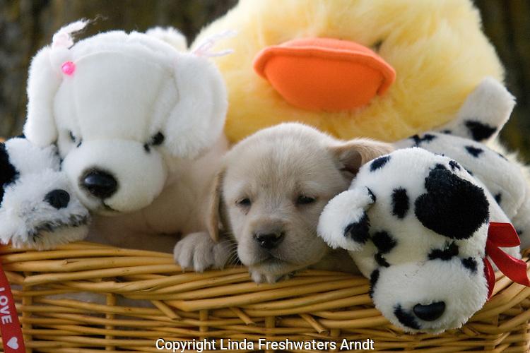 Yellow Labrador retriever (AKC) puppy in a basket full of stuffed animals