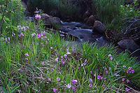 Darkthroat Shootingstar, Dodecatheon pulchellum,flowers in habitat next to creek,Rocky Mountain National Park, Colorado, USA, June 2007
