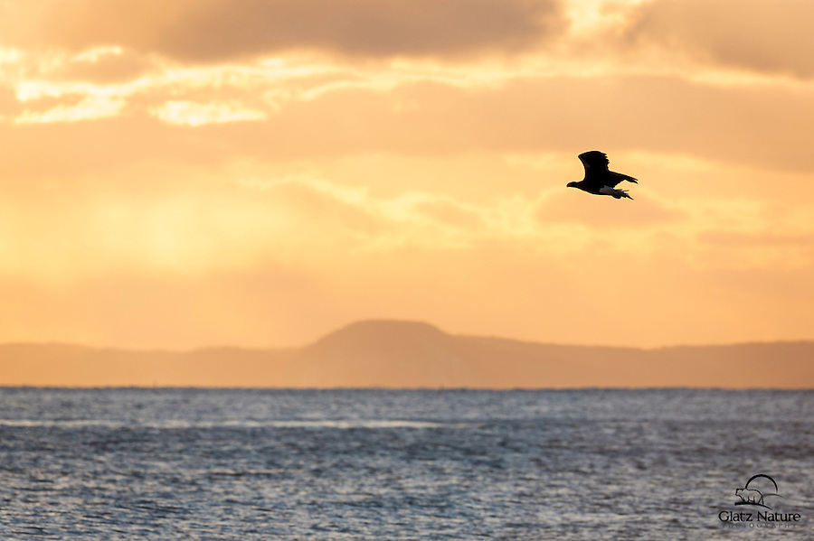 Steller's Sea Eagle in silhouette at sunset.  Japan.