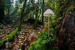 Mushroom / fungi (Mycelia sp.,). in mixed deciduous and coniferous woodland near Inverness, Scottish Highlands. Scotland.