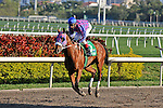 07 February 2010:  Our Champion with jockey John Velazquez in the Eighth race The Hallandale Beach Stakes at Gulfstream Park in Hallandale Beach, FL.