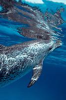 Atlantic spotted dolphin, Stenella frontalis, Bahamas ( Atlantic Ocean )
