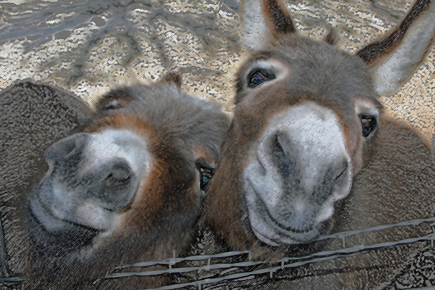 My neighbor has a pair of Miniature Donkeys, very cute together. Especially when they're beggin' :)<br /> I used colored pencil in PS for this rendition of the pair.