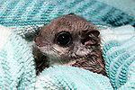 10-12 week old southern flying squirrel wrapped in blanket at the New England Wildlife Center in Barnstabe, Massachusetts.  Head and neck only.