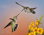 The Face-Off.  Hummingbirds are amazing and wonderful creatures in many ways, but one thing they're not known for is good manners.  Quite the opposite, in fact: when competing for food or nesting space, they tend to be very territorial and aggressive.  These two came through Sedona during their fall migration southward.  They were engaged in a fleeting and distinctly unfriendly squabble over who got to feed on these flowers; it happened so quickly that I didn't see who won.<br /> <br /> Tech info: Nikon D850 camera with Tamron 150-600mm lens at 300mm, 1/250 sec. at f16, ISO200.<br /> <br /> Image ©2021 James D. Peterson