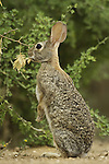Rabbit foraging from a low-hanging shrub