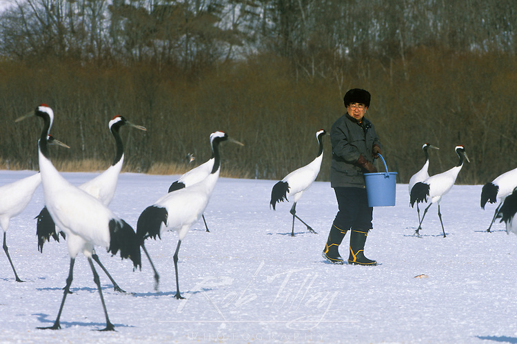 Asia, Japan, Hokkaido, Akan, Feeding Red-Crowned Cranes (Grus japonensis)