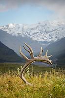 Caribou antlers, Eilson Visitor Center, Denali N.P.