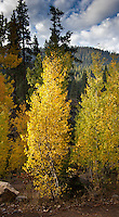 Gold and lime-green leaves are lit by early morning light in the Sierra Nevada Mountains.
