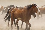A dusty herd of trotting horses makes a great background for a profile of a quarter horse in the foreground at the Mantle Ranch in Three Forks Montana...