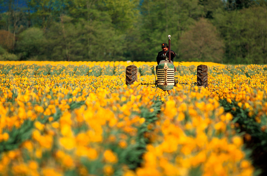 A farm worker drives a tractor in a field of daffodil flowers in spring. Washington.