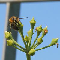 A bee by macro in foreground, on a berry of ivy. This is an enlargement of the original photo (Tivoli, 2020).<br /> <br /> Un'ape con il macro in prino piano, su una bacca di edera. Questo à un'ingrandimento della foto originale (Tivoli, 2020).