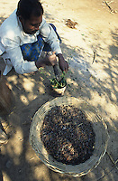 INDIA, Maikaal Project, farmer prepares a bio pesticide from seeds of Neem tree which is used against pest in organic cotton farming / INDIEN, Maikaal Projekt, Bauer nutzt den Samen des Niembaum für natürliche Pestizide für den biologischen Baumwollanbau gegen Pflanzenschädlinge