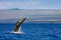 Baby humpback whale (Megaptera novaeangliae) breaching near Hawai'i