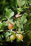 gooseberry (Ribes uva-crispa), fruit