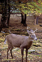 MA11-101z  White-tailed Deer - male (buck) with antlers - Odocoileus virginianus