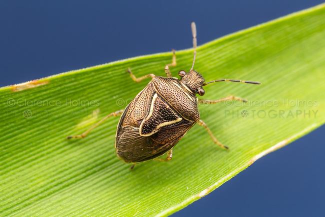 Stink Bug (Mormidea lugens)