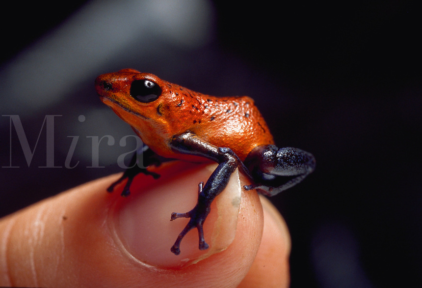 Poison-dart frog, La Selva Biological Research Station, Costa Rica