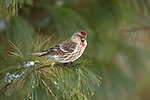 Male common redpoll perched on a pine branch.