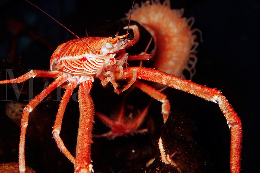 Squat lobster, Munida quadrispina, at depths of over 4000 feet . Monterey Bay National Marine Sanctuary , California (c)