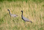 Demoiselle cranes, Tov Province, Mongolia