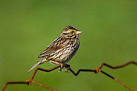 Savannah Sparrow (Passerculus sandwichensis labradorius), one of 17 recognized subspecies of this passerine bird, perches on fence in July at Cape Bonavisata, Bonavista Peninsula, Newfoundland and Labrador, Canada.