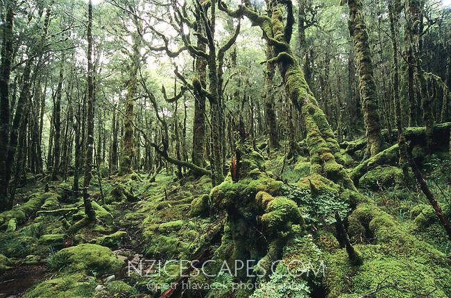 Very beautiful, heavily moss cloaked bush near Taipo Hut on the Wangapeka Track - Kahurangi National Park, New Zealand