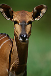 Bongo antelope, native to lowland Africa,