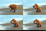 Alaskan Coastal Brown Bear Cub Activities, Stretching, Whispering Secrets, and Playing with a Stick, Silver Salmon Creek, Lake Clark National Park, Alaska