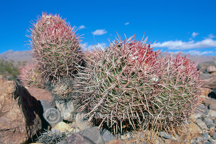 Cotton Top Cactus (Echinocactus polycephalus) growing in Desert, Death Valley National Park, California, CA, USA - aka Cottontop Barrel Cactus