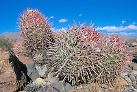 Cotton Top Cactus (Echinocactus polycephalus) growing in Desert, Death Valley National Park, California, CA, USA - aka Cottontop Barrel Cactus