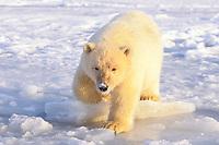 polar bear, Ursus maritimus, cub on the pack ice, 1002 area of the Arctic National Wildlife Refuge, Alaska, polar bear, Ursus maritimus