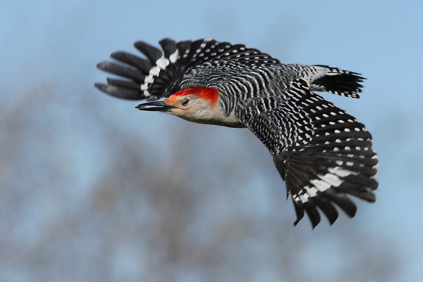 The Red-bellied Woodpecker has a bold black-and-white striped back, with flashing red cap and nape. Look for white patches near the wingtips as this bird flies.
