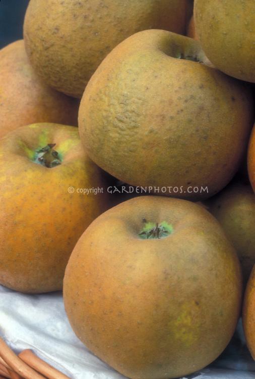 Apple 'King Russet' Malus domestica (Dessert Apple) fruits picked golden, desert apples, pile, ripe