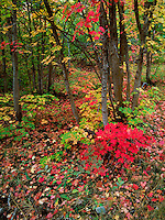 Art in Nature 9609-0109 - Early fall foliage in Payson Canyon. Wasatch Range, Rocky Mountains, Utah.